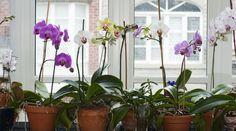 Orchideen: So pflegen Sie die Königin der Blumen #orchideenpflege