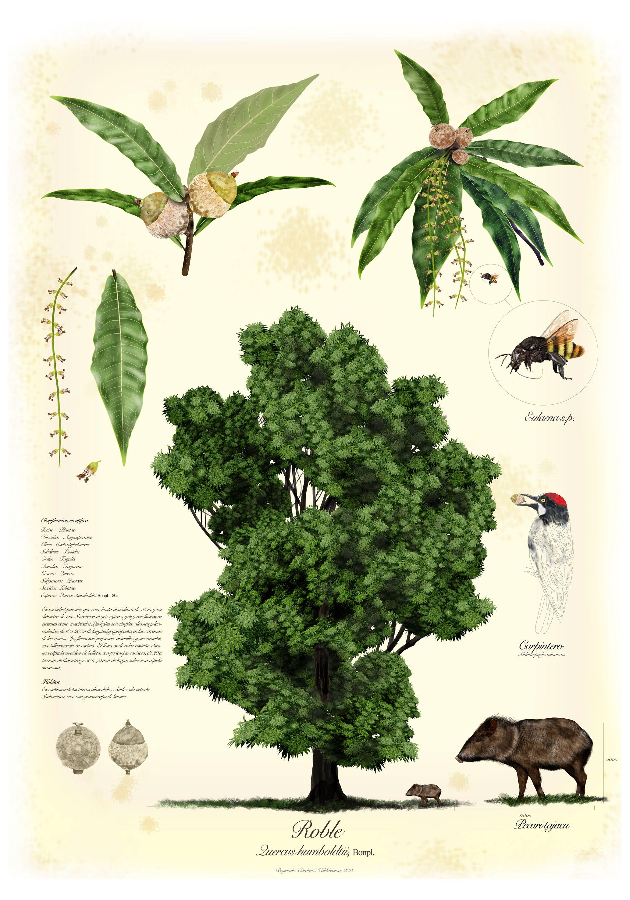Quercus Humboldtii / Roble