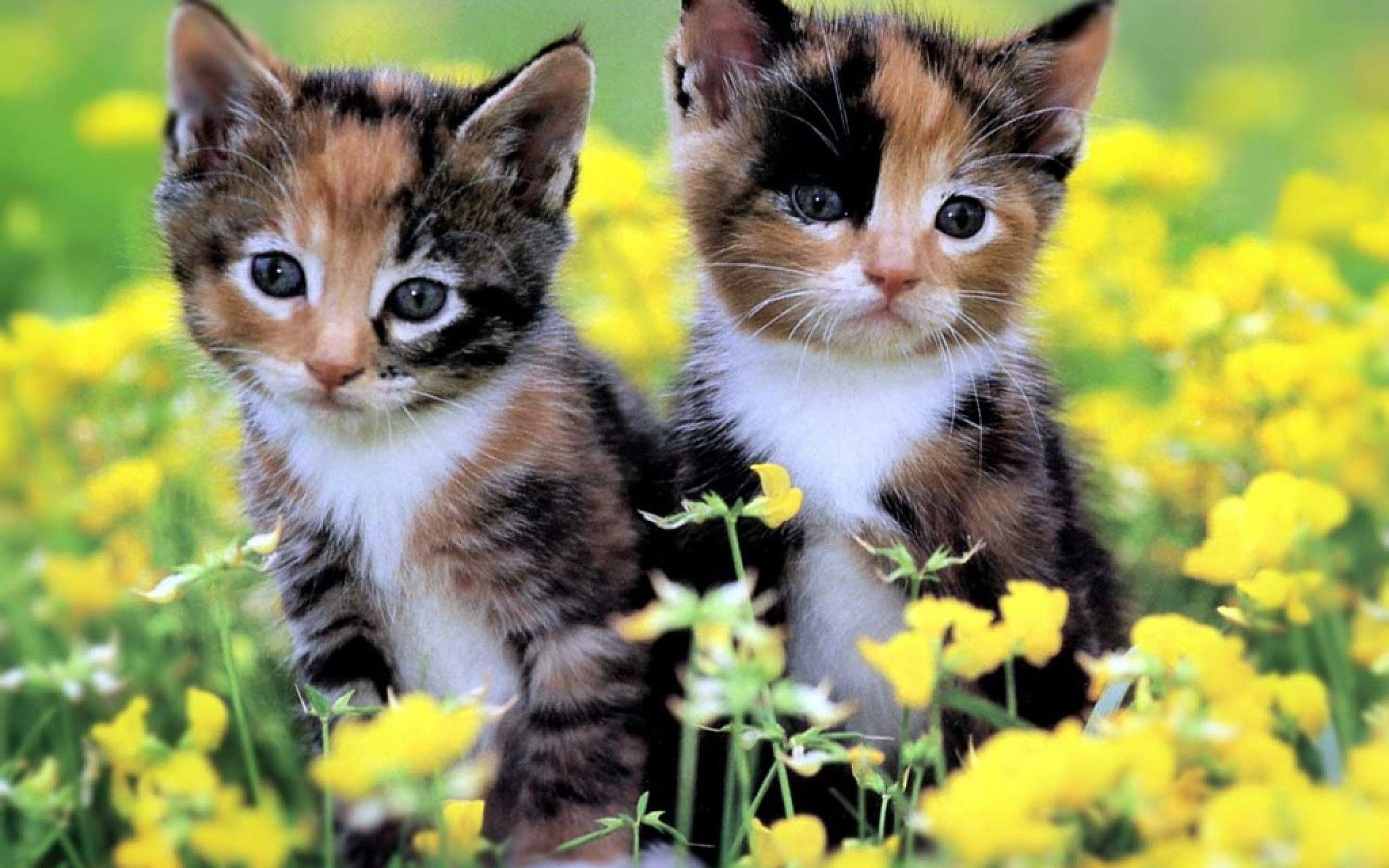 cute baby kittens wallpaper | Homepage » Cat » two cute kittens wallpaper