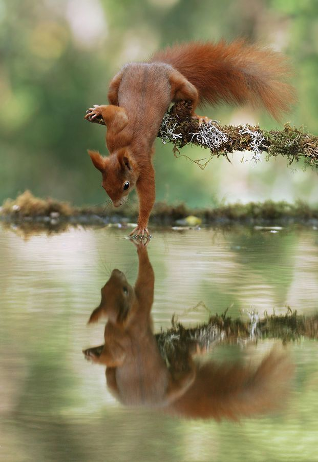 Another picture from the series 'Squirrel by the Water' #Animal Encounter ... (F ... -  Another picture from the series 'Squirrel by the Water' # animals Encounter … (forum fo - #39Squirrel #animal #animalwallpaper #animalyoudidn'tknowexisted #another #cutestbabyanimals #encounter #farmanimals #picture #series #squirrel #water #Water39 #wildanimals