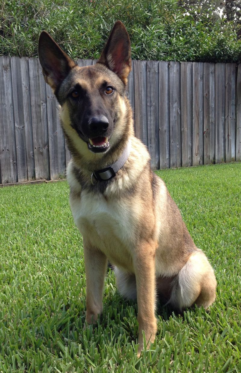 Adopt Casey On German Shepherd Dogs Sable German Shepherd