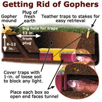 Your Toughest Lawn Questions Answered Getting Rid Of Gophers Gopher Fruit Trees In Containers