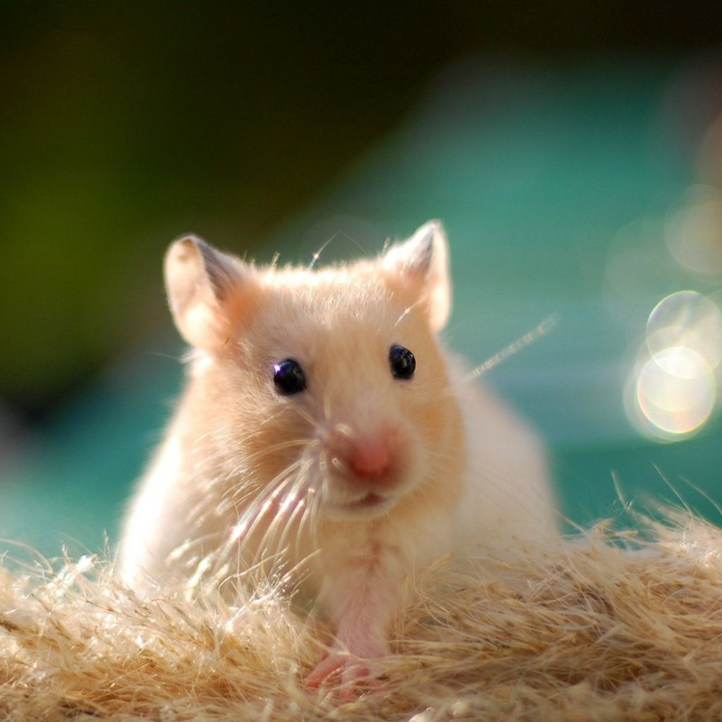 ipad, ipad 2, ipad mini hamster wallpapers hd, desktop backgrounds