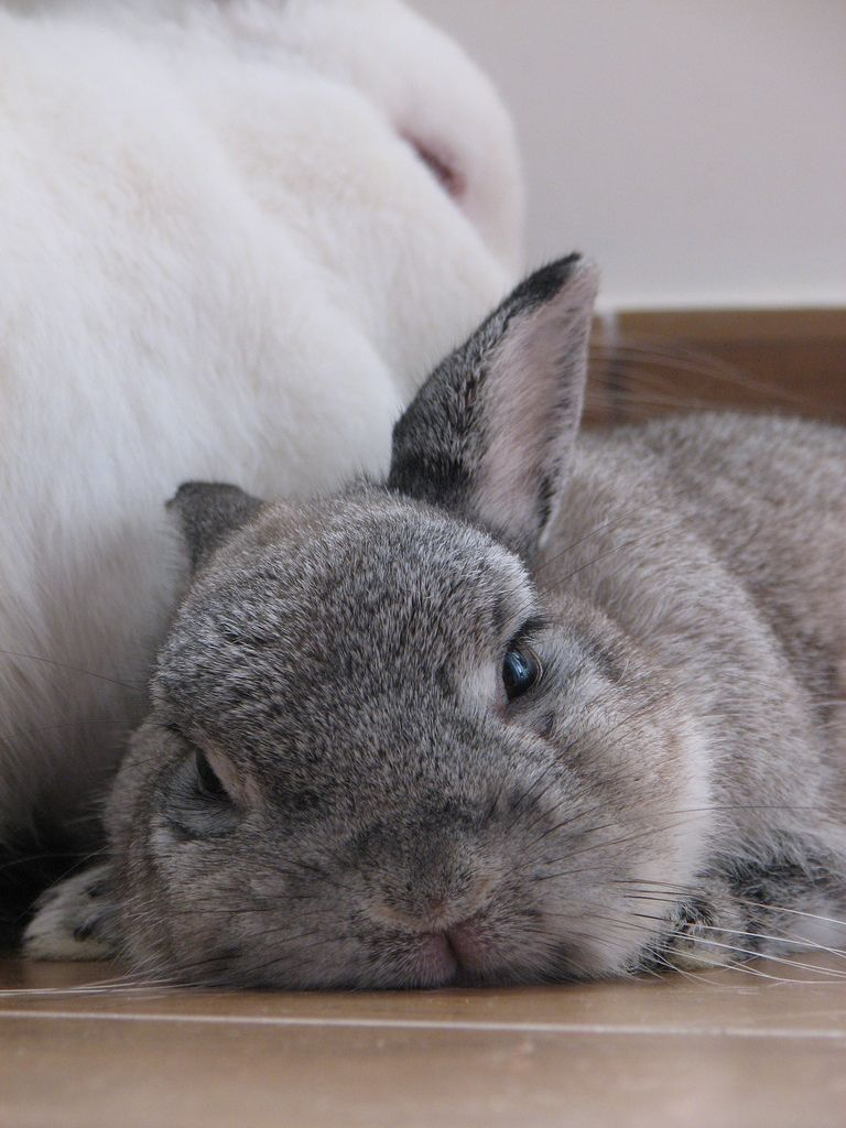 sleepy polo bunny animal and rabbit