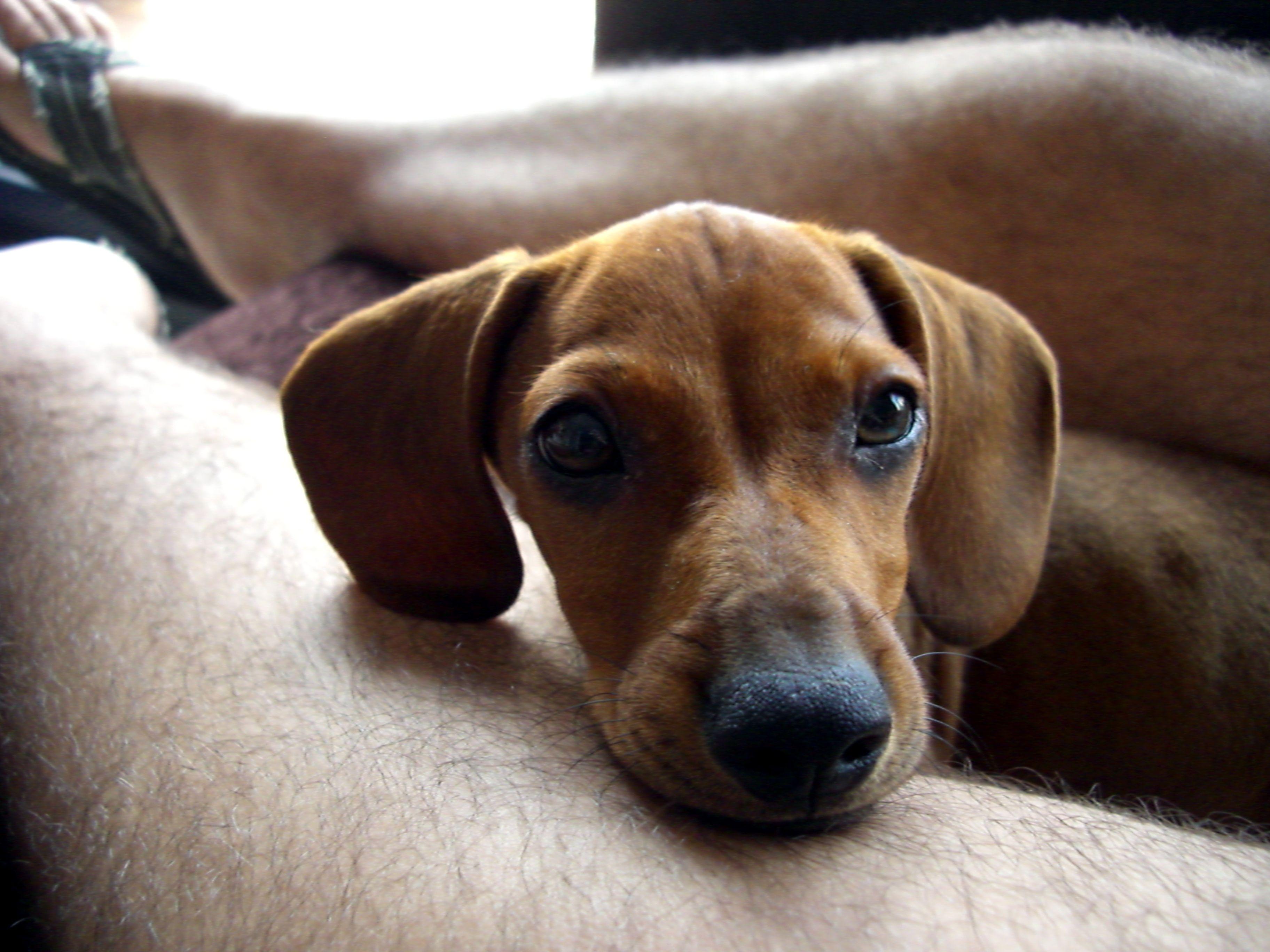 Teckel dachshund dogs u agility pinterest dog agility