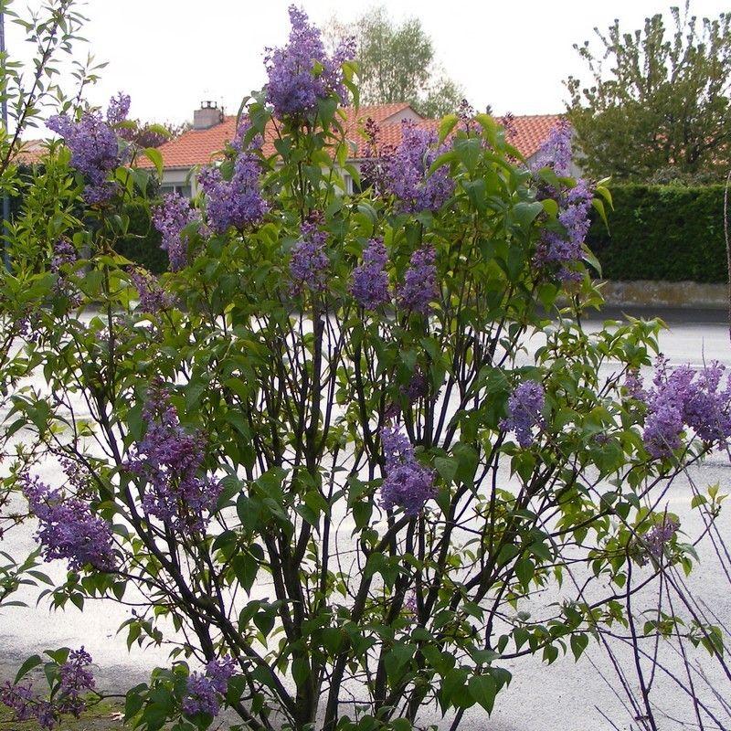 Syringa vulgaris 'Michel Buchner' - Lilas commun à fleurs doubles