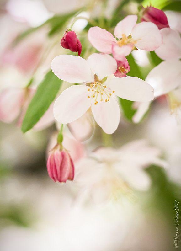 Crabapple (malus floribunda)