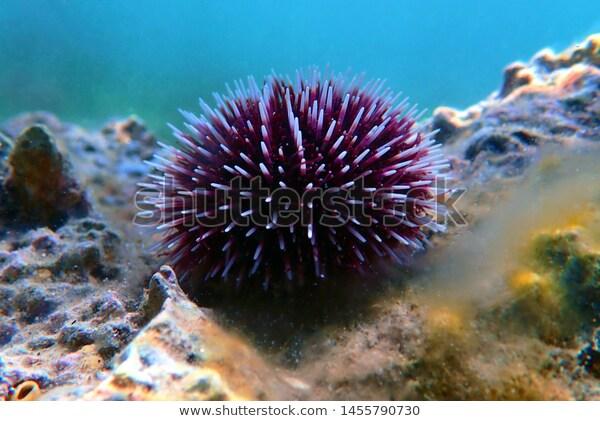 Underwater Mediterranean Purple Sea Urchin Sphaerechinus Stock Photo Edit Now 1455790730 Purple Sea Urchin Urchin Underwater