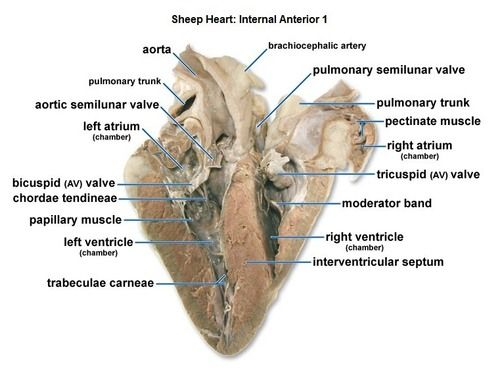 Sheep heart diagram quiz trusted wiring diagram image result for sheep heart labeled nady pinterest rh pinterest com sheep heart anatomy quiz sheep heart dissection labeled ccuart Image collections