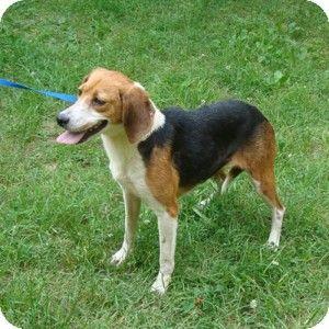 Dumfries Va Beagle Mix Meet Skye A Dog For Adoption Http Www Adoptapet Com Pet 10965128