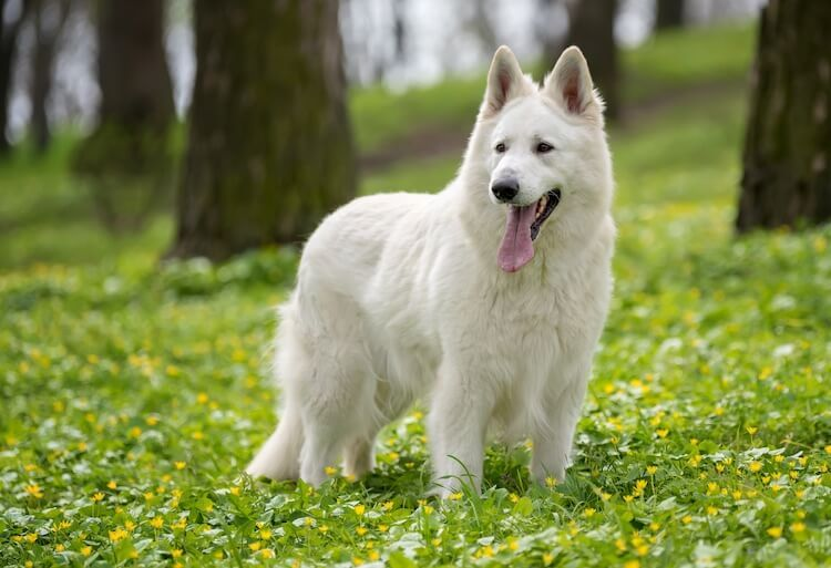White German Shepherd A Complete Guide To Fluffy White Shepherds All Things Dogs In 2020 White German Shepherd German Shepherd German Shepherd Colors