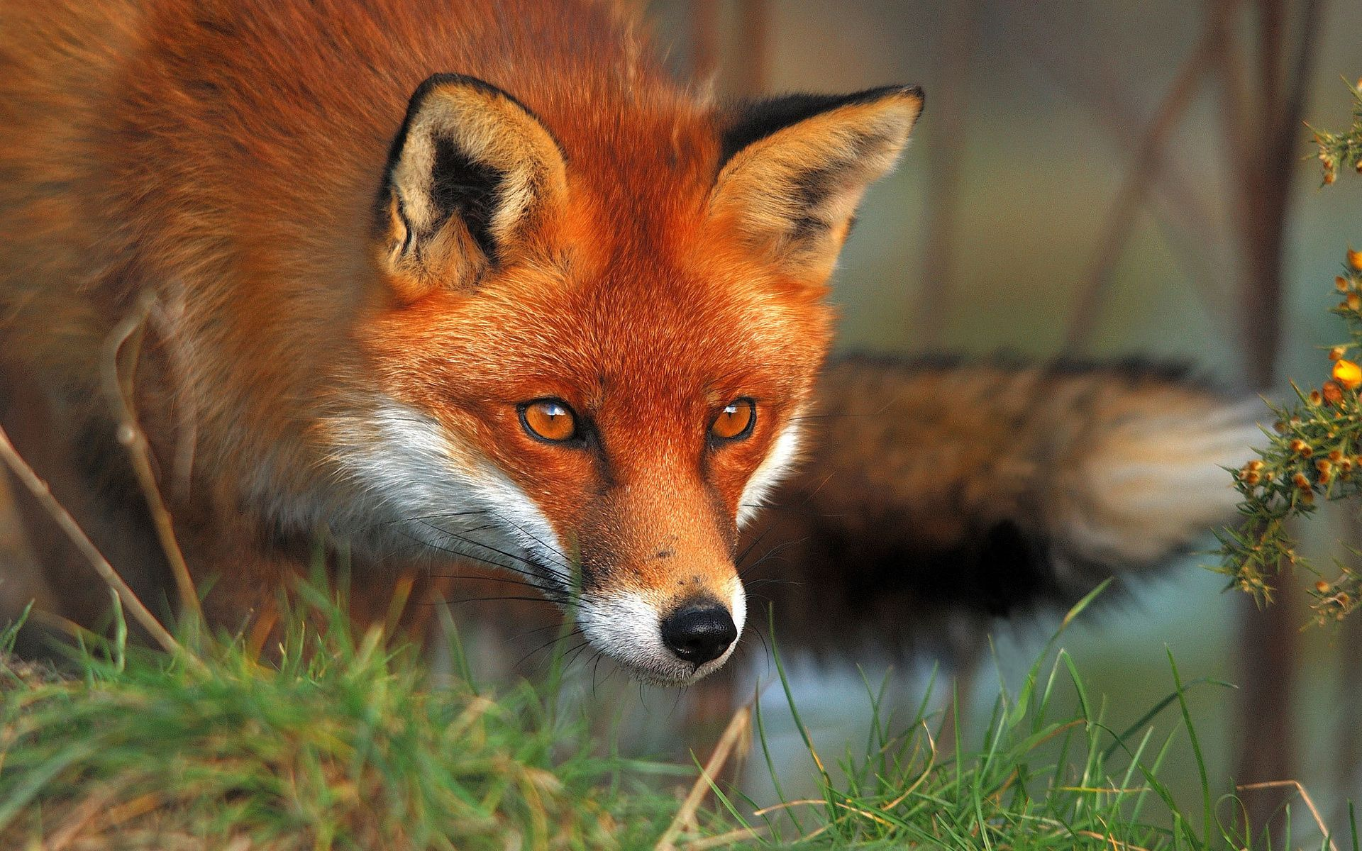 Red Fox Wallpaper Hd 46023 1920x1200 Px Hdwallsourcecom