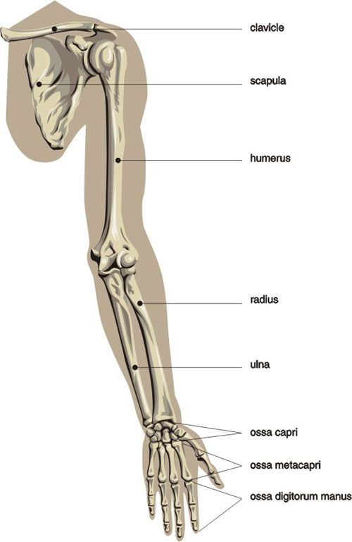 Basic daigram of the bones of the arm and hand | Anatomy ...