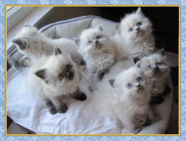 Himalayan cat poop fur