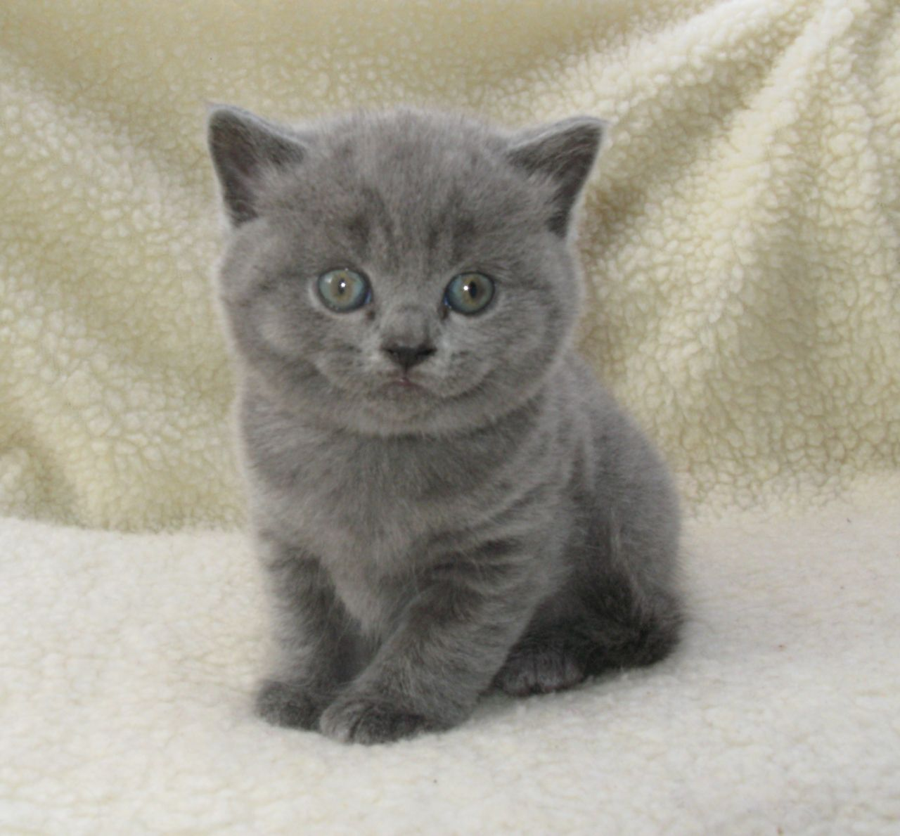 **GCCF Reg** British Shorthair Kittens British shorthair