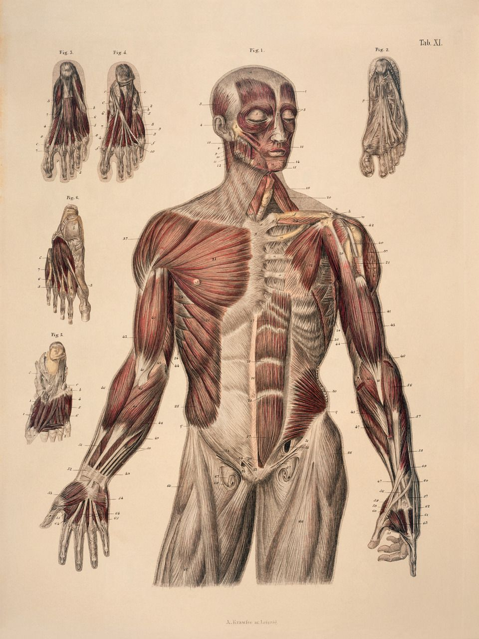 Google human anatomy