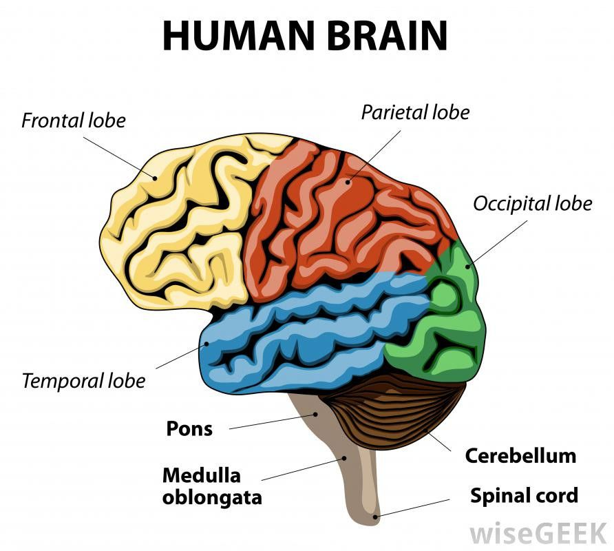 Human Brain Pictures with Labels Elegant What is the ...