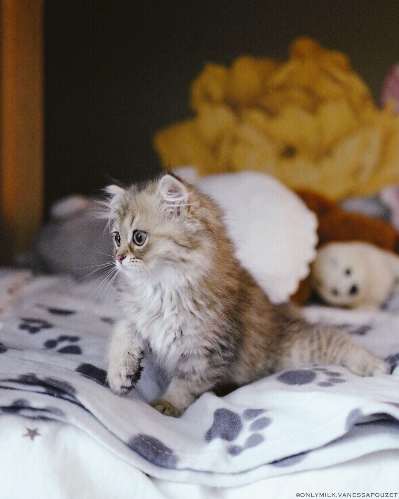 L'ARRIVÉE D'OASIS Chat poil long, Cute kittens, Chat