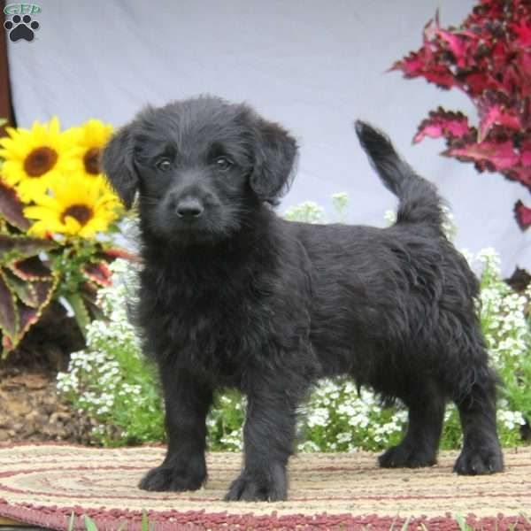 Brett German Sheprador Puppy For Sale In Maryland Labradoodle