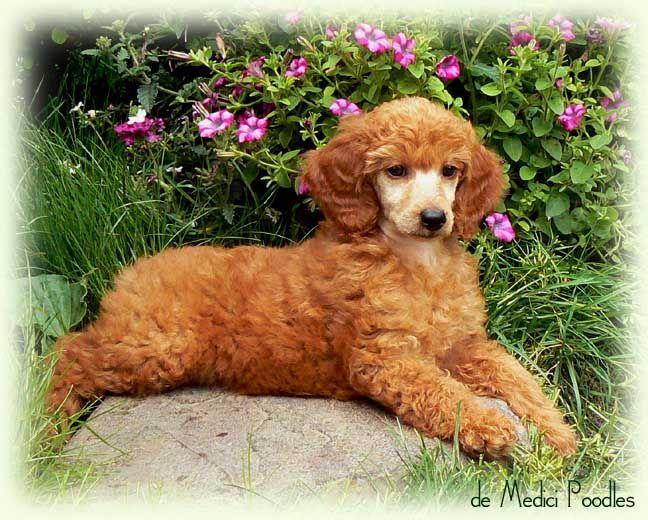 De Medici Poodles Small Standard Or Moyen Poodle Litter