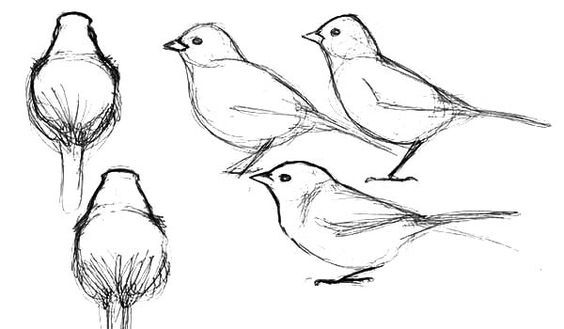 Junco Bird How To Draw Coloring Pages