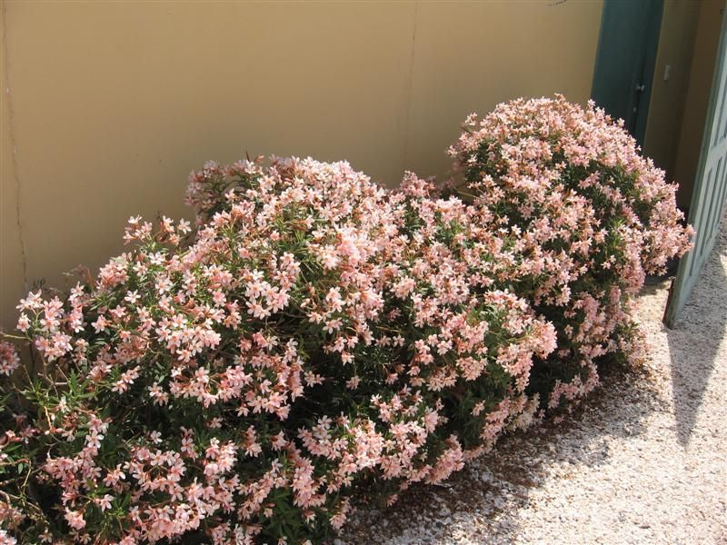 Laurel de flor enano buscar con google jardines for Enano jardin