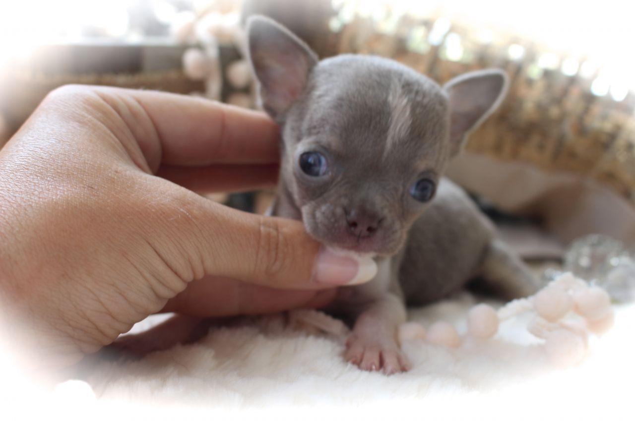 Super Micro Tiny K C Lilac Male Chihuahua Chihuahua Puppies