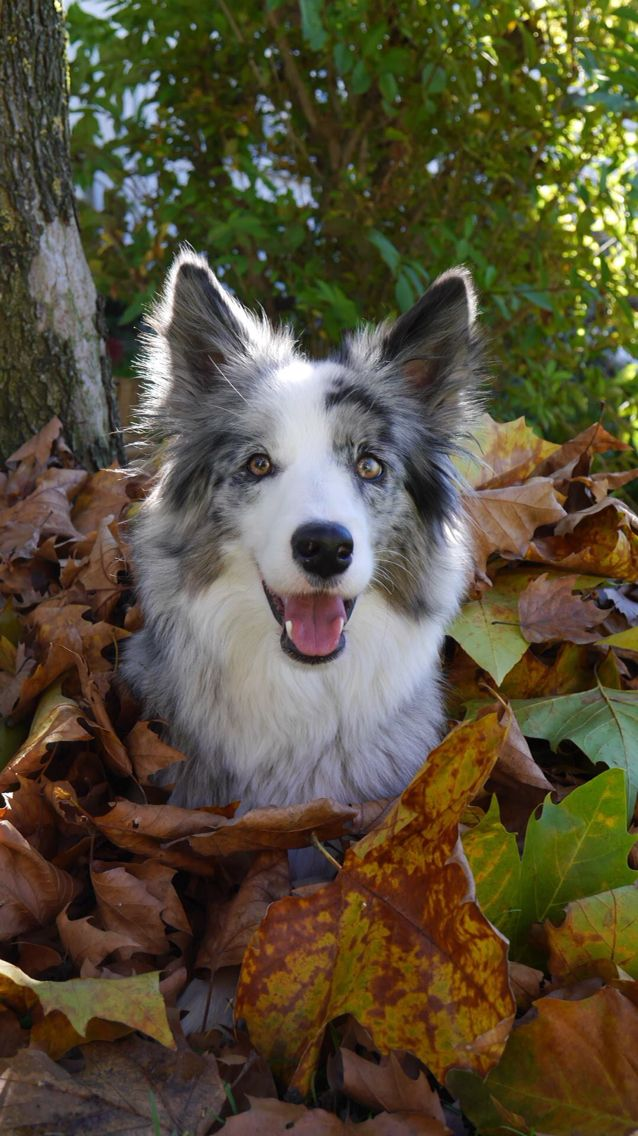Merle Border Collie...