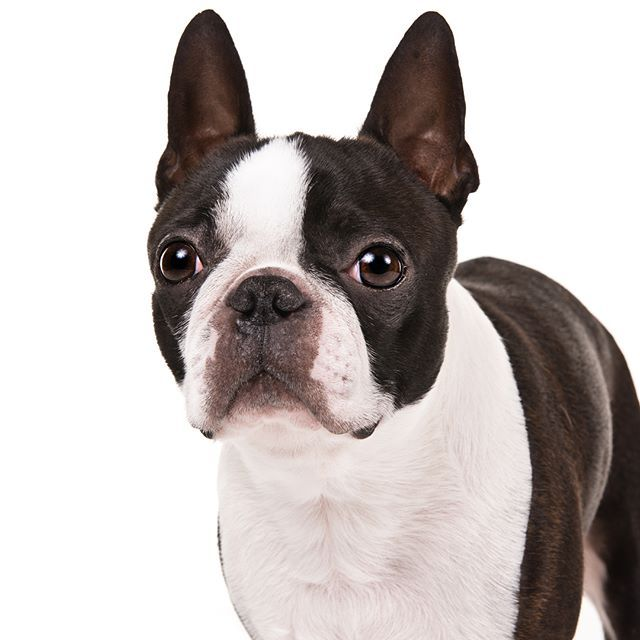 Boston Terrier Dog Breed Information Dog Breeds Boston Terrier Breeds