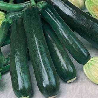 Courgette Sylvana F1 AGM Seeds