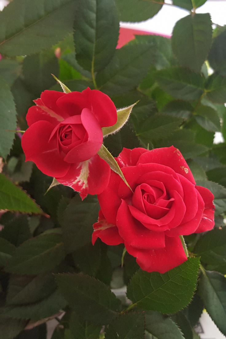 Gardening For Sale Mailordergardeningcatalogs Growing Roses Beautiful Rose Flowers Rose Buds