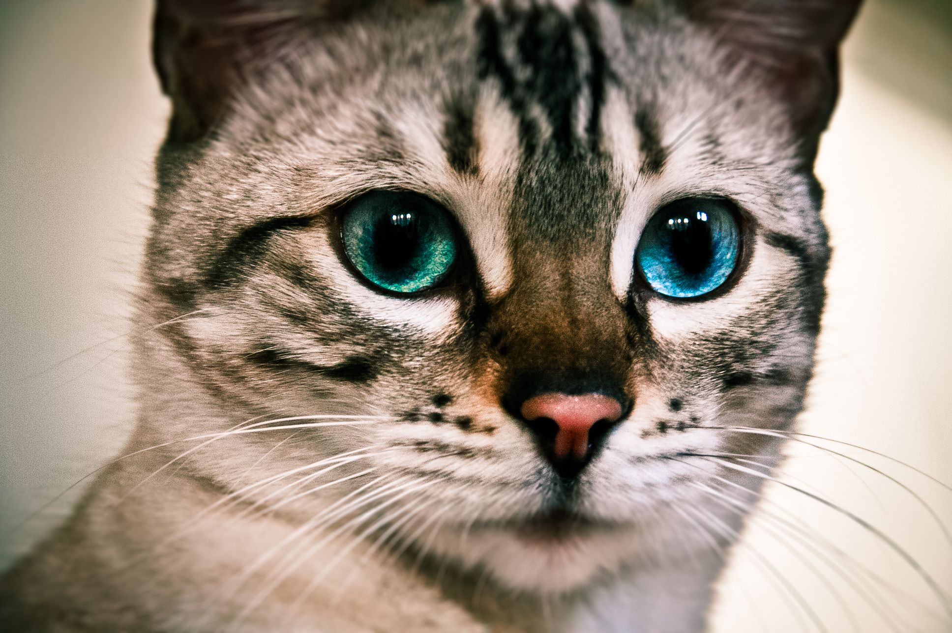 snow bengal kitty cat cateyes blueeyes Toyger cat