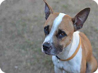 Atlanta, GA Boxer/Basenji Mix. Meet RYA, a dog for