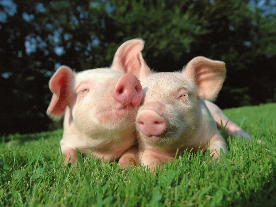 #animals #pigs #cute