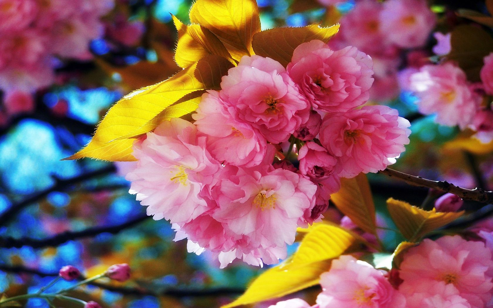 Spring Flowers Background Free Beautiful Spring Flowers Computer