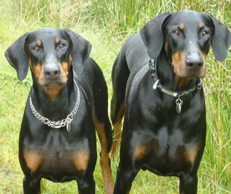 ♥Doberman♥ Doberman pinscher dog, Doberman, Doberman
