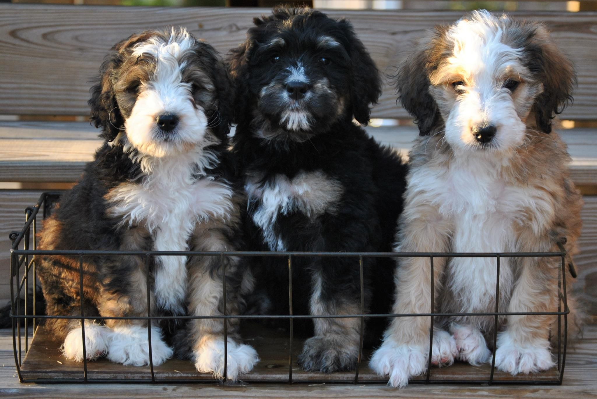 Beautiful Bernedoodle Pups For Adoption Bernedoodle