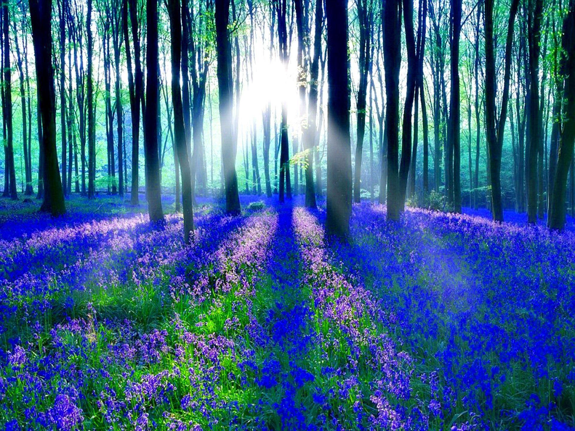 Bluebell Wood HD desktop wallpaper Widescreen High