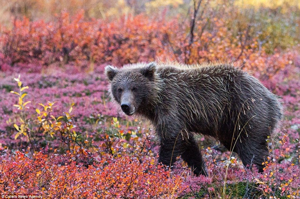 A bear wanders through brightly coloured flowers in Alaska's Denali National Park, which e...