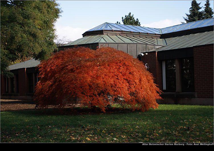 Dissectum Atropurpureum Japanese Maple Want These Trees In Front Of My House Schlitzahorn Botanischer Garten Garten