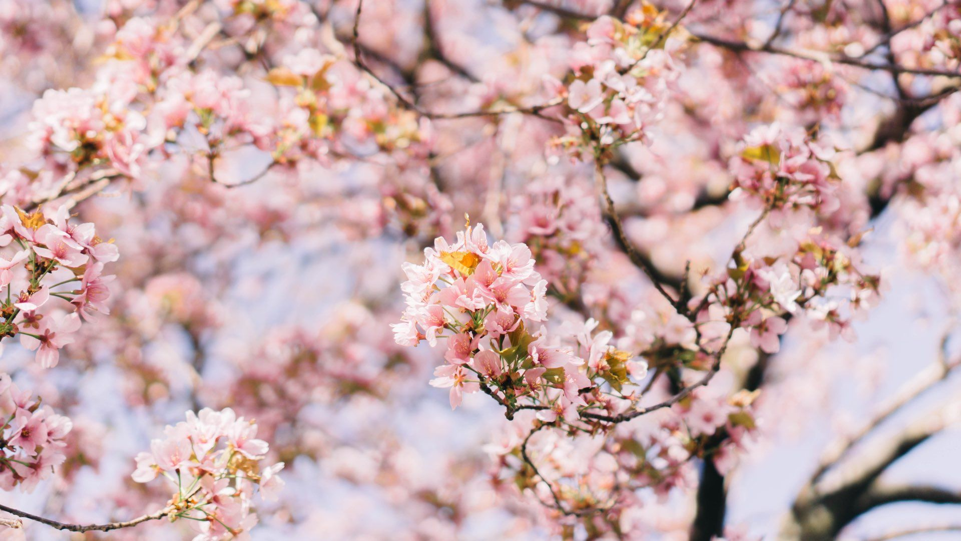 Read Concrete Playground's take on Sydney Cherry Blossom ...