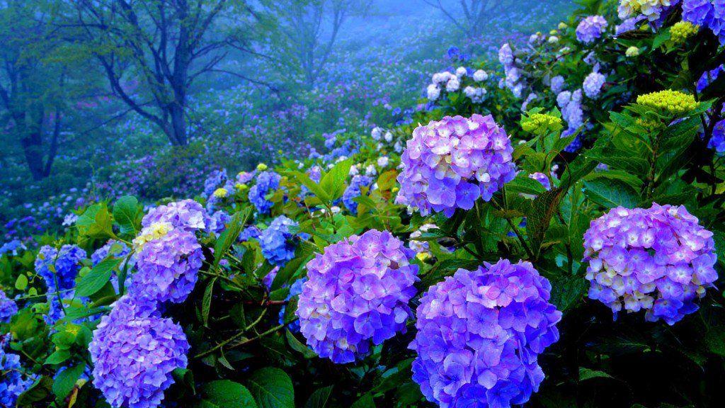 How To Grow Hydrangeas Growing Hydrangeas Hydrangea Garden Planting Hydrangeas