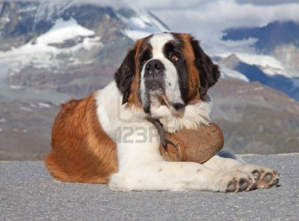 87 best st.bernards images on pinterest | saint bernards, animals