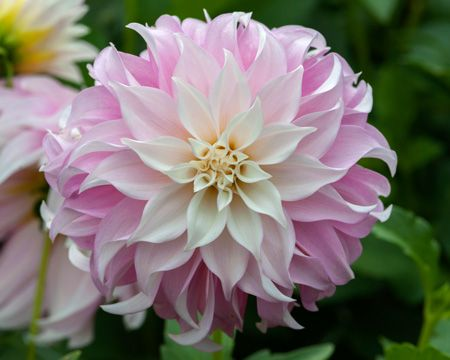 Dahlia Ada S Attraction Home Variety Search About Dahlia Catalog Providers Dahlias In Parks Wonderful Flowers Pretty Flowers Beautiful Flowers