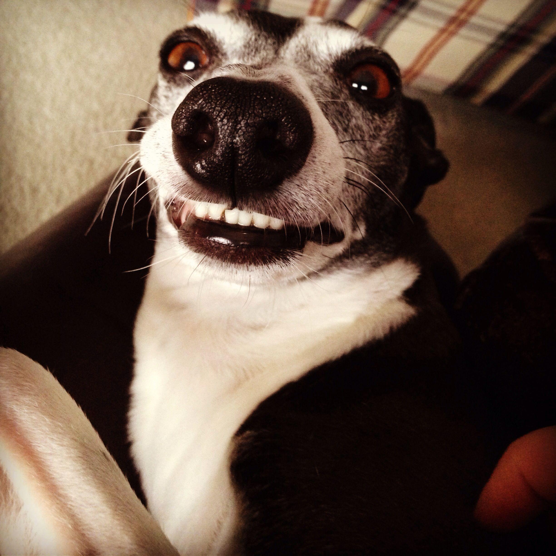 italian greyhound smiling - photo #20