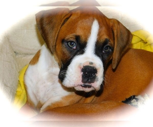 Boxer puppy for Sale in HAMMOND, Indiana, USA. ADN147981