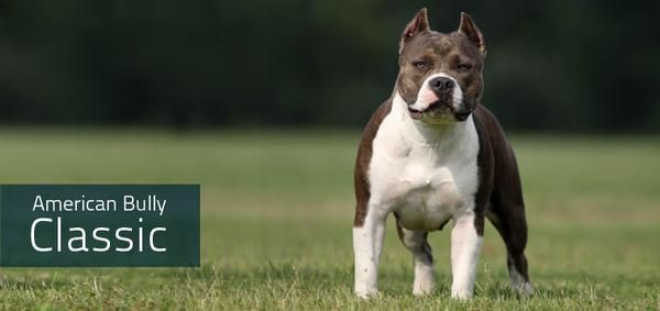 Everything You Need To Know About The American Bully With Images American Bully Classic American Bully Bullying