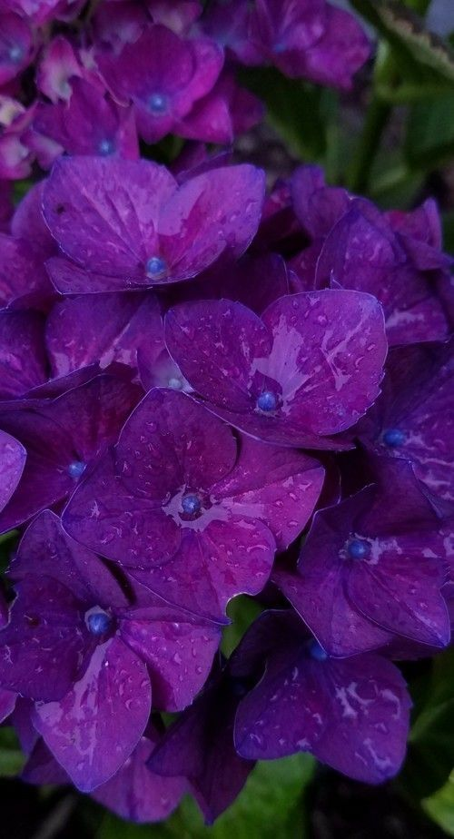 H Macrophylla New Wine Is A Very Reliable Large Stunning Purple Hydrangea