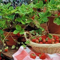 erdbeeren pinterest t pfchen erdbeeren und g rten. Black Bedroom Furniture Sets. Home Design Ideas