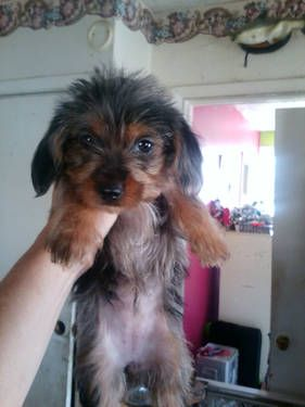 Dorkie Puppies Lol Puppies Designer Dogs Breeds Cute Animals